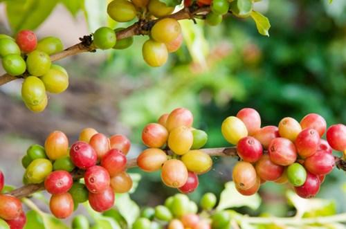 Giá cà phê hôm nay 18/6: Các sàn phái sinh đều nhuốm màu đỏ khi đồng USD tăng mạnh