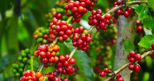 TT cà phê ngày 03/12: Tăng nhẹ, giá giao dịch quanh mức 33.100 – 33.400 đồng/kg