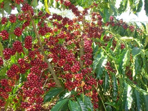 TT cà phê ngày 21/11: Giá đảo chiều bật mạnh 900.000 đồng/kg