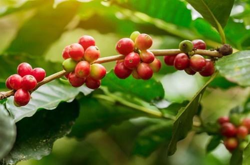 TT nguyên liệu đồ uống ngày 15/9: Giá cà phê giảm mạnh do mưa tại Brazil