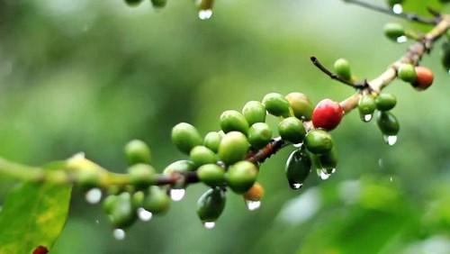 TT cà phê ngày 14/01: Giá đồng loạt giảm mạnh, Lâm Đồng lui về 30.800 đồng/kg