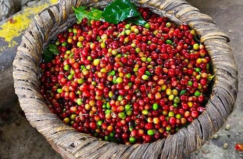 TT cà phê tuần từ 21 – 26/9: Giá thay đổi nhẹ so với tuần trước