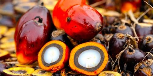 Giá dầu cọ Malaysia sụt giảm trong phiên đầu tuần do Indonesia có kế hoạch điều chỉnh thuế xuất khẩu