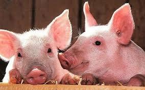 Giá lợn hơi hôm nay 21/7: Biến động từ 1.000 - 3.000 đồng/kg