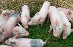 Giá lợn hơi ngày 5/9/2020: Ba miền đi ngang sau nhiều ngày giảm liên tiếp