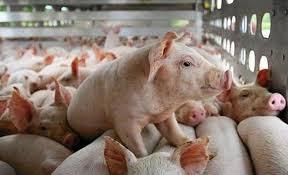 Giá lợn hơi ngày 10/9/2020: Tăng đều trên cả 3 miền