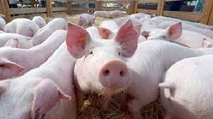 Giá lợn hơi ngày 15/9/2020: Ba miền vượt mốc 80.000 đồng/kg