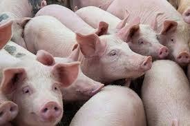Giá lợn hơi ngày 18/9/2020: Đà tăng chậm lại, tiếp tục duy trì ở mức cao