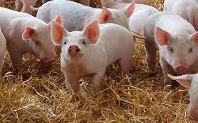 Giá lợn hơi ngày 23/9/2020: Miền Bắc giảm 1.000 - 3.000 đồng/kg