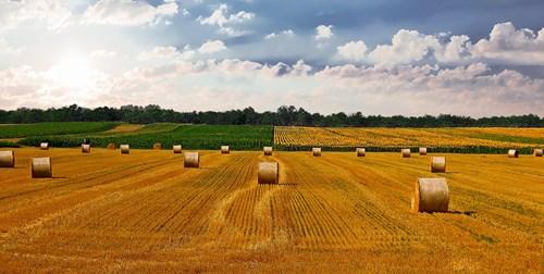 Ấn Độ dự kiến thu hoạch lúa mì, gạo kỷ lục trong năm nay - giá vàng 9999 hôm nay 1011