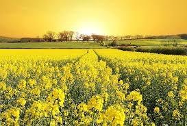 Pháp: Nông dân trồng hạt cải dầu chịu thiệt hại lớn