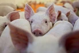 Cộng hòa Dominica giết hàng nghìn con lợn vì dịch sốt lợn bùng phát - bơi