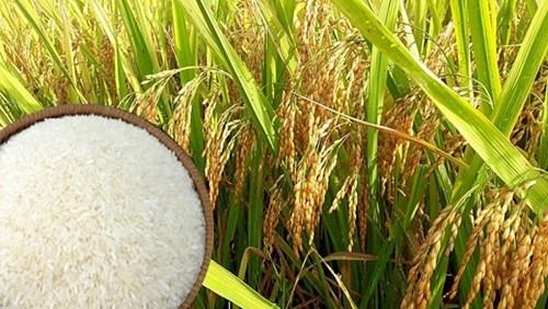 Giá lúa gạo ngày 12/11: Duy trì ở mức cao