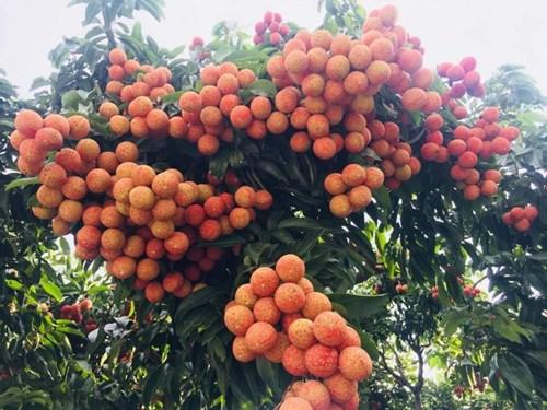Hội nghị kết nối, xúc tiến tiêu thụ vải thiều và nông sản tiêu biểu tỉnh Hải Dương 2021