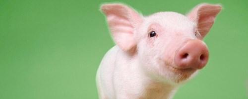 Giá lợn hơi ngày 14/10/2019 tiếp tục tăng tại miền Nam