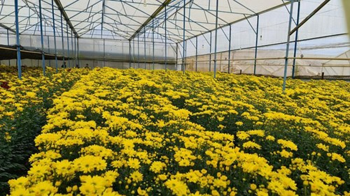Hang chuc trieu canh hoa