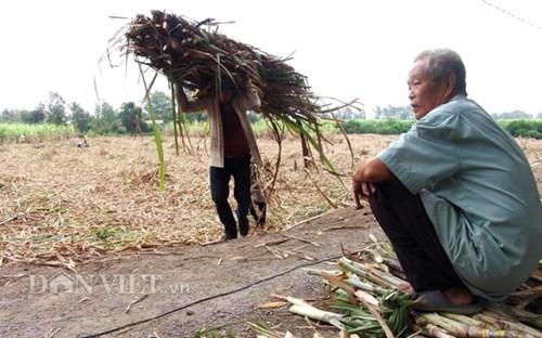 Nông dân Long An thẫn thờ bên ruộng mía vì giá mua mía thấp. Ảnh Trần Đáng