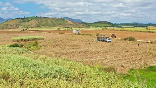 Vùng trồng mía ở Gia Lai. Nguyễn Diệp