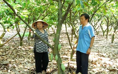 Ông Trương Văn Mỹ bên vườn ca cao của gia đình. (Ảnh: Lê Tùng)
