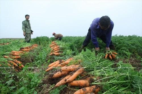 Kết quả hình ảnh cho cà rốt xã Đức Chính và Thái Tân, Hải Dương