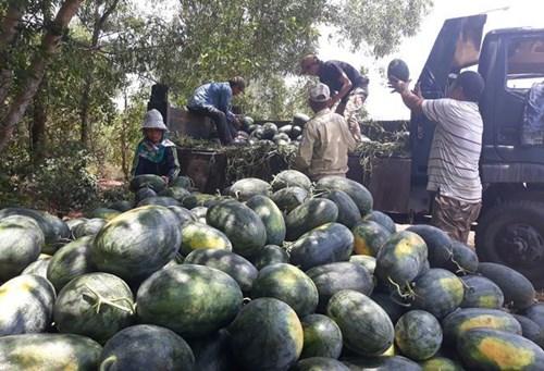 Quảng Ngãi: Giá dưa hấu tăng kỷ lục, nông dân lãi khủng - 1