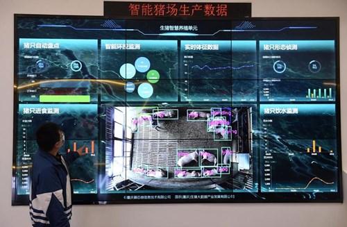 Một màn hình giám sát theo thời gian thực tại Trung tâm Quốc gia dữ liệu lớn về lợn ở Trùng Khánh, Trung Quốc - Ảnh: Getty/Bloomberg.