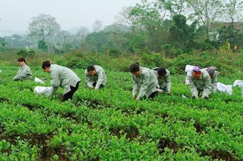 Các xã viên HTX Nông nghiệp và Dịch vụ Bắc Thái, xóm Hồng Thái 1, xã Tân Cương (TP Thái Nguyên) thu hoạch chè. Ảnh:ĐT.