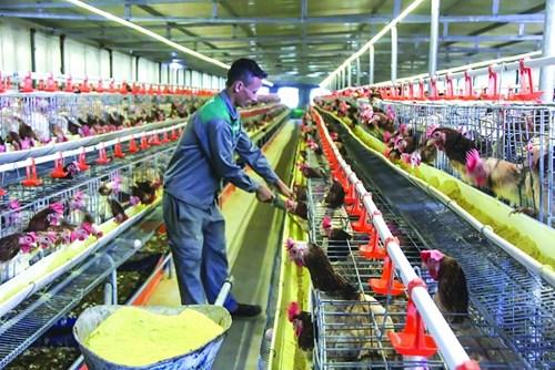 Giá thức ăn chăn nuôi tăng cao thời gian qua gây không ít khó khăn cho các hộ chăn nuôi gia cầm. Ảnh: N.Thanh