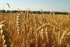 Căn bệnh bí ẩn của lúa mì có thể gây ảnh hưởng thế nào tới Việt Nam?