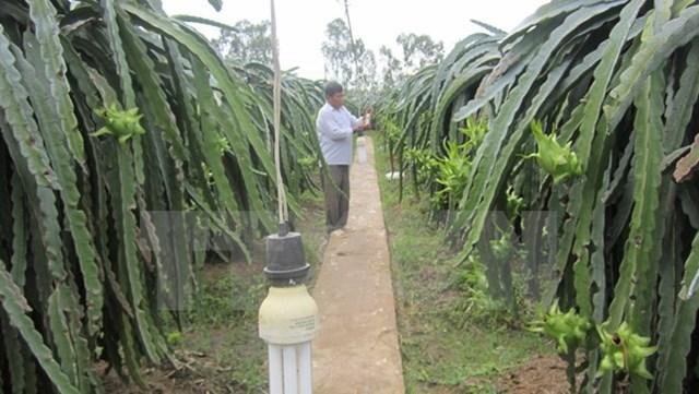 Cách làm mới tiết kiệm điện cho người trồng thanh long