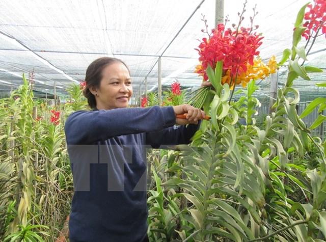 Trồng hoa lan Mokara cho thu nhập tới 50 triệu đồng mỗi tháng