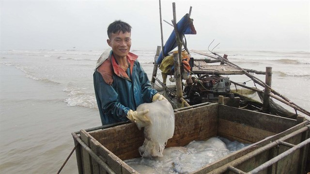 Bỗng nhiên sứa biến thành 'vàng', mang về nguồn thu hơn 100 tỷ đồng