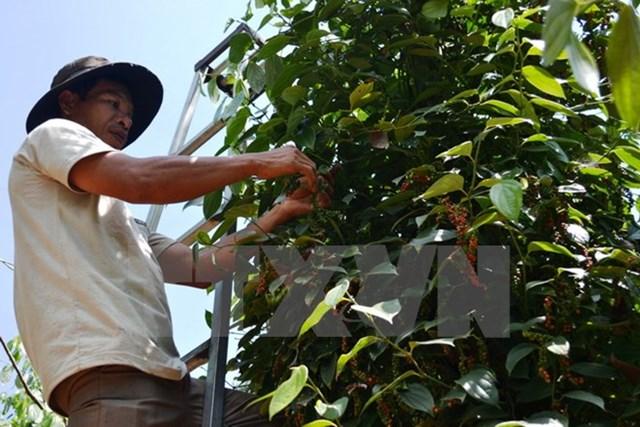 Vì sao giá hồ tiêu của Việt Nam lại sụt giảm bất thường?