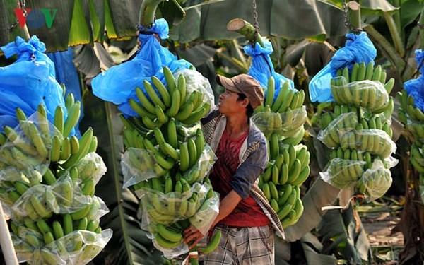 Thông tin diễn biến thị trường chuối tại Trung Quốc