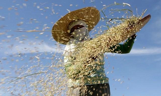 Rủi ro khủng hoảng ngành gạo vì biến đổi khí hậu gia tăng