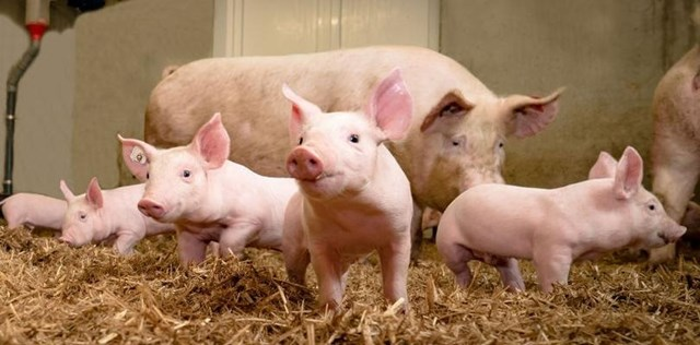 Báo cáo thị trường heo hơi tháng 1/2019: Triển vọng ngành chăn nuôi heo không mấy lạc