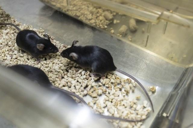 Chuột biến đổi gen ở TQ có giá tới 17.000 USD/đôi