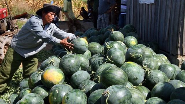 Từ 1/5, dưa hấu lót rơm sẽ không được xuất khẩu sang Trung Quốc