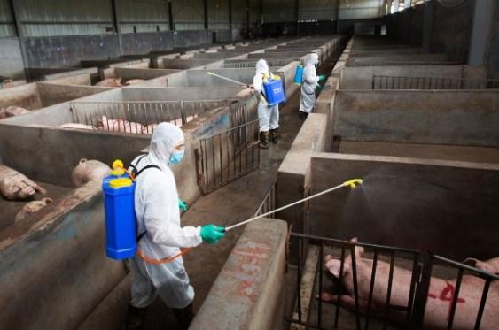 Trung Quốc quyết thay đổi thói quen để đẩy lùi tả lợn châu Phi