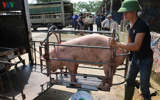 Thực hư chuyện lợn sống nhập khẩu từ Thái Lan về Việt Nam có chất cấm