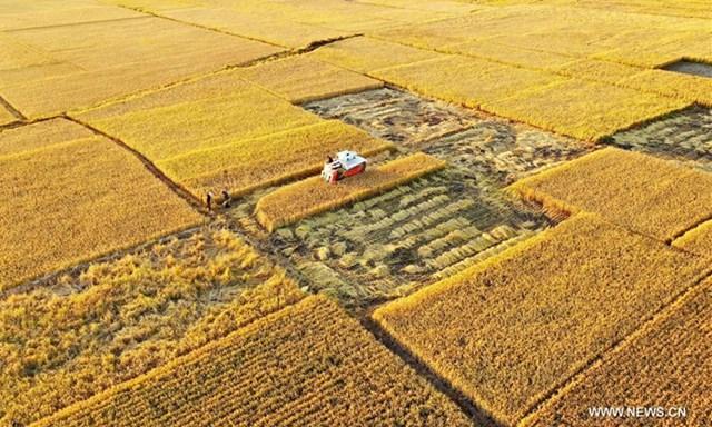 Những hình ảnh cánh đồng lúa rộng mênh mông ở tỉnh Hà Bắc (Trung Quốc)
