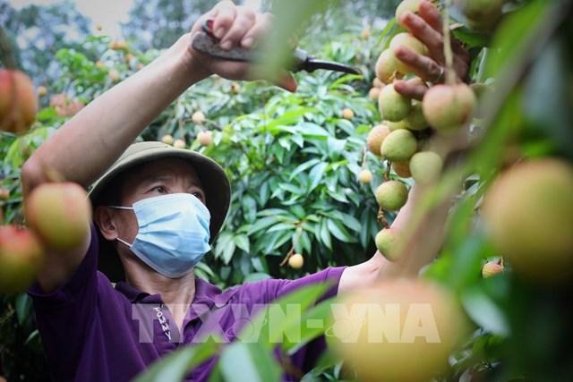 Quả vải Việt ở châu Âu - Bài 2: Từ cơ quan thương vụ tới doanh nghiệp