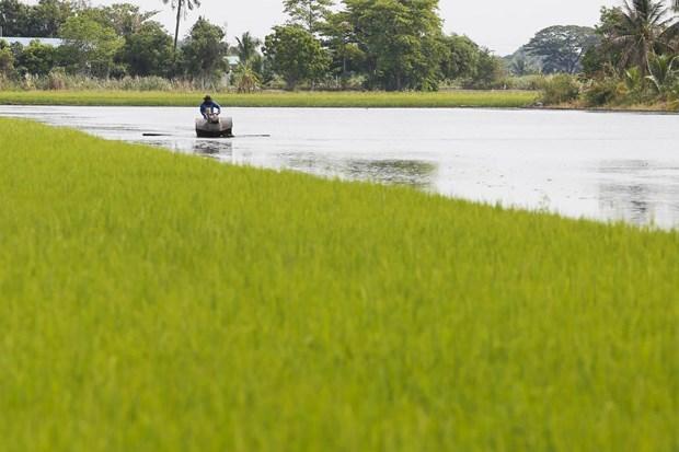 Chính phủ Thái Lan gia hạn chương trình đảm bảo giá lúa gạo