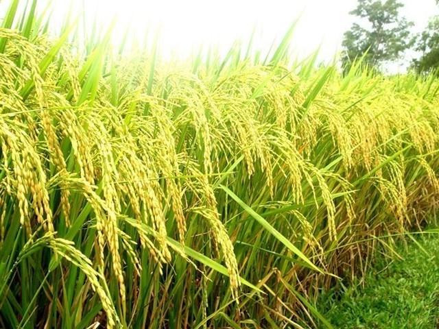 USDA dự báo sản lượng - tiêu thụ - tồn trữ gạo thế giới (báo cáo tháng 5/2021)