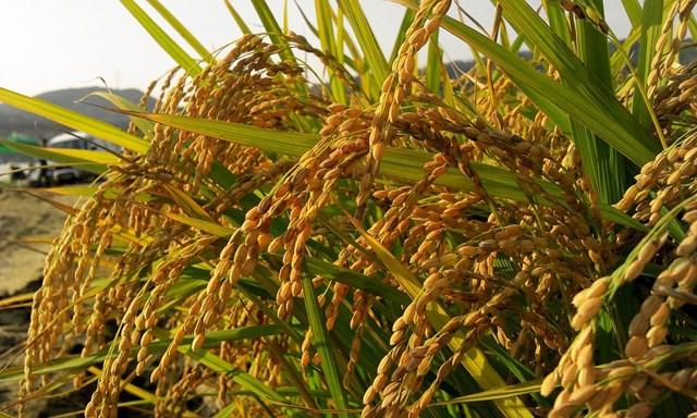 Thị trường lúa gạo Châu Á: Giá đồng loạt giảm ở cả Ấn Độ, Thái Lan và Việt Nam