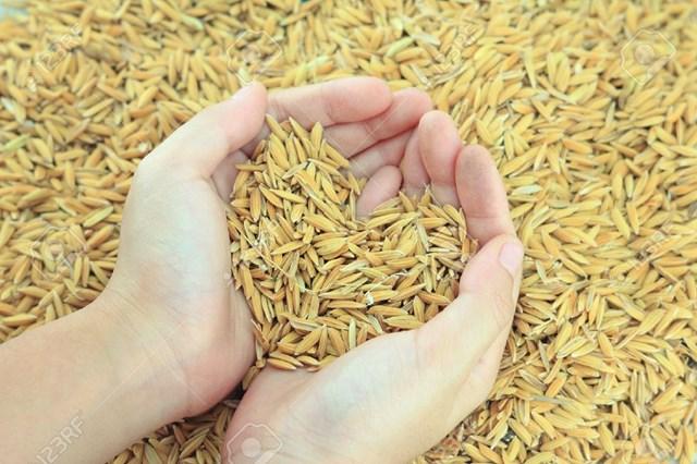 Thái Lan: Xuất khẩu gạo sụt giảm mạnh do giá không cạnh tranh