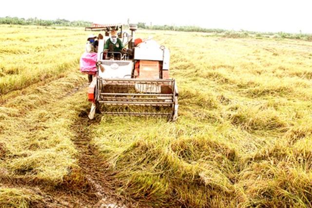 Giá gạo châu Á tăng do kỳ vọng ký được hợp đồng với Indonesia và Philippines