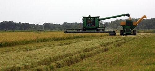 USDA: Dự báo sản lượng, tiêu thụ và dự trữ gạo thế giới