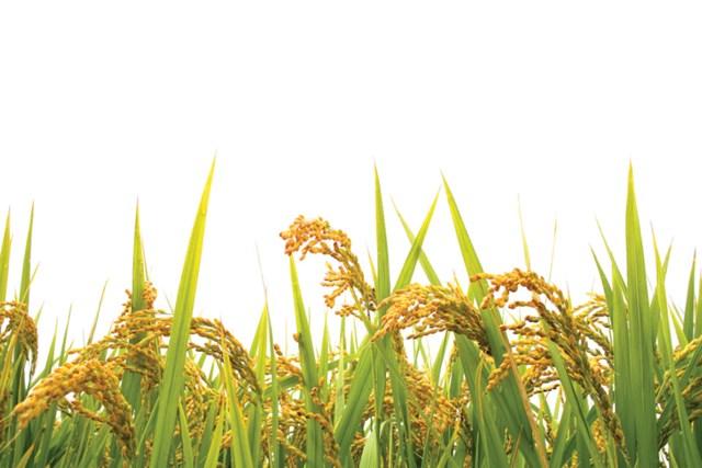 USDA dự báo sản lượng - tiêu thụ - tồn trữ gạo thế giới (báo cáo tháng 6/2021)
