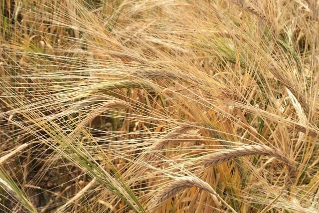 Giá lúa mạch Ukraina tăng 20% do nhu cầu từ Trung Quốc
